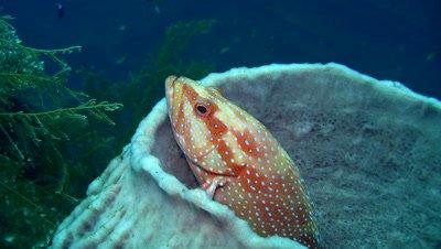 Coral grouper (Plectropomus maculatus) inside barrel sponge