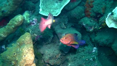 Coral grouper (Plectropomus maculatus) and wrasse kissing