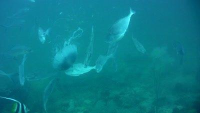 Unicorn filefishes (Aluterus monoceros) around jellyfish