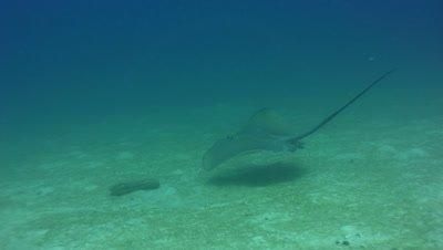 Jenkin's whipray (Himantura jenkinsii) swimming