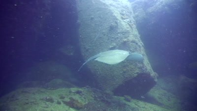 Wounded Jenkin's whipray (Himantura jenkinsii) swimming