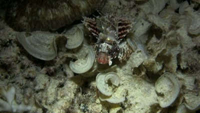 Shortfin lionfish (Dendrochirus brachypterus) swimming