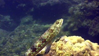 Variegated lizardfish (Synodus variegatus) close up