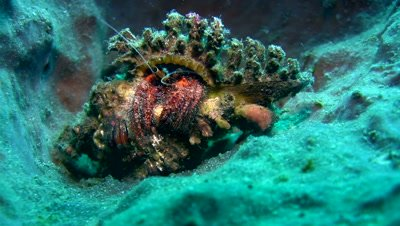 Hermit crab on barrel sponge