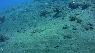 Leopard flounder (Bothus pantherinus)