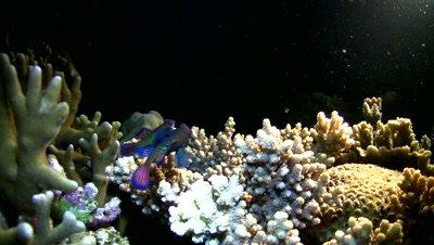 Mandarinfishes (Synchiropus splendidus) mating