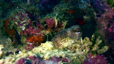 Barred-fin moray (Gymnothorax zonipectis)