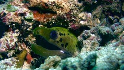 Spot-face or Fimbriated moray (Gymnothorax fimbriatus)