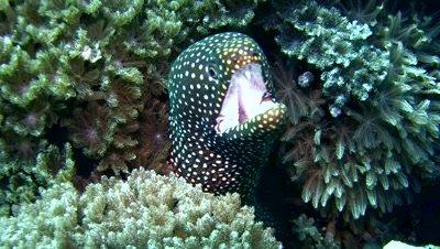 Whitemouth moray (Gymnothorax meleagris) close up