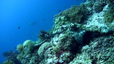 Common reef octopus (Octopus cyanea) mating