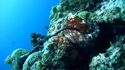 Common reef octopus (Octopus cyanea) mating