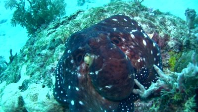 Common reef octopus (Octopus cyanea) changing color and shape