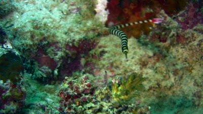 Ringed or banded pipefish (Doryrhamphus dactyliophorus)