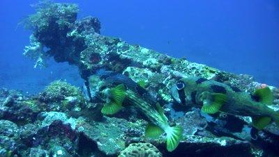 Black-blotched porcupinefish (Diodon liturosus) mating dance
