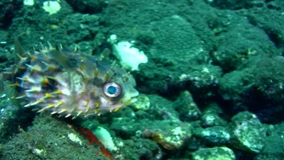Rounded porcupinefish (Cyclichthys orbicularis)