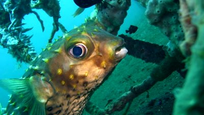 Yellow spotted porcupinefish (Cyclichthys spilostylus)