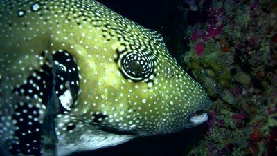 Blue-spotted pufferfish (Arothron caeruleopunctatus)