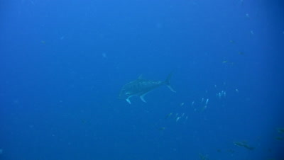 Doublespotted queenfish (Scomberoides lysan) swimming in the blue