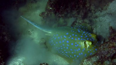 Blue-spotted fantail ray (Taeniura lymna) eating on the sand