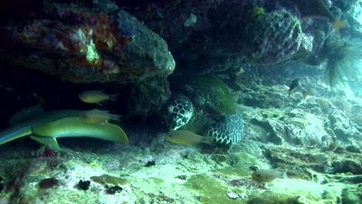 Blue-spotted fantail ray (Taeniura lymna) with hawksbill turtle