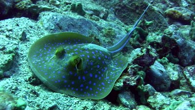Blue-spotted fantail ray (Taeniura lymna) close up