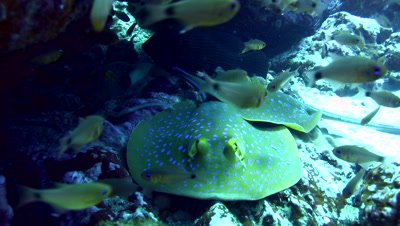 Blue-spotted,fantail ray (Taeniura lymna) on top of each other