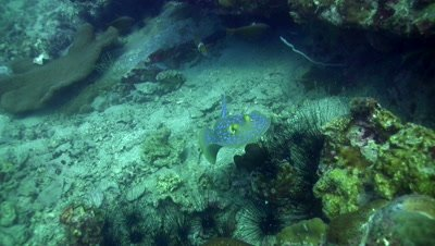 Blue-spotted fantail ray (Taeniura lymna) swimming on top of the reef