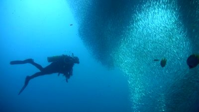 Gigantic school of sardines or silverside (Atherinidae) with divers