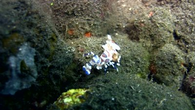 Harlequin shrimp (Hymenocera elegans) carrying sea star