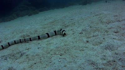Banded snake eel (Myrichthys colubrinus) on sand
