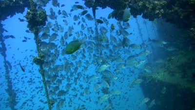 School of one spot snappers (Lutjanus monostigma) ready for the race