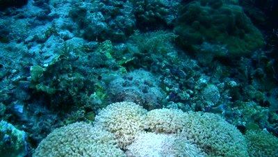 Reef stonefish (Synanceia verrucosa) walking