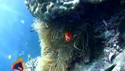 Tomato or Bridled anemonefish (Amphiprion frenatus)
