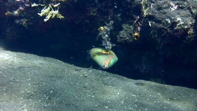 Striped triggerfish (Balistapus undulatus) eating on the sand