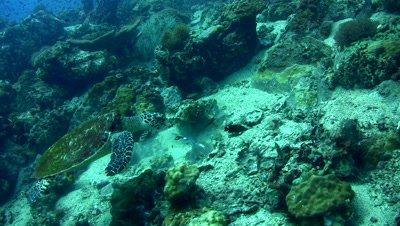 Hawksbill turtle (Eretmochelys imbricata) and blue-spotted fantail ray (Taeniura lymna)