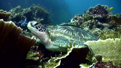 Green sea turtle (Chelonia mydas) checking around and starting swimming