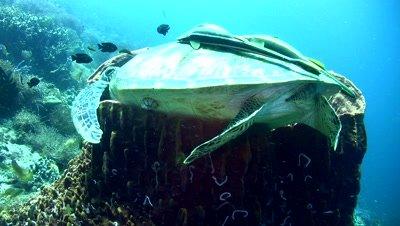 Green sea turtle (Chelonia mydas) laying inside barrel sponge