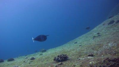 Spotted unicornfish (Naso brevirostris) swimming
