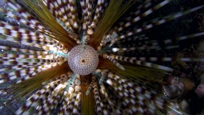 Double spined sea urchin (Echinothrix Calamaris)