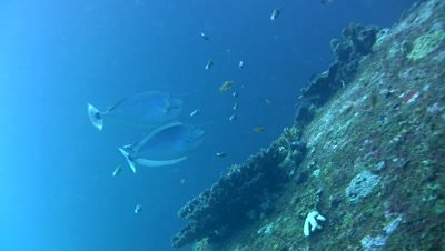 Spotted unicornfish (Naso brevirostris) getting cleaned