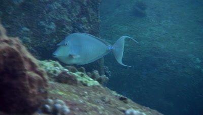 Blue-spine unicornfish (Naso unicornis) eating,close up