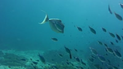 Humpback unicornfish (Naso brachycentron) swimming in front of divers