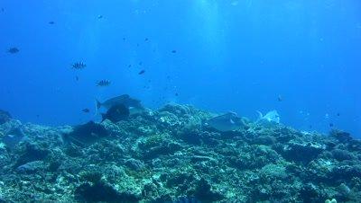 Humpback unicornfish (Naso brachycentron) group