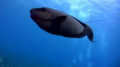 Bignose unicornfish (Naso vlamingii) swimming close up