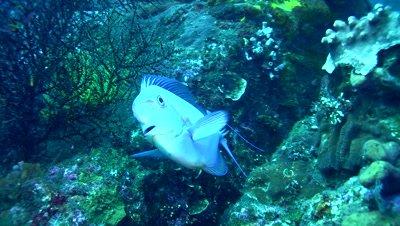 Bignose unicornfish (Naso vlamingii) changing color