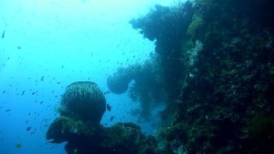 Giant barrel sponge (Xestospongia testudinaria) on the Liberty Wreck,Bali