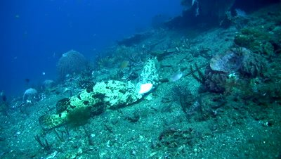 Two brown-marbeled grouper (Epinephelus fuscoguttatus) eating pufferfish