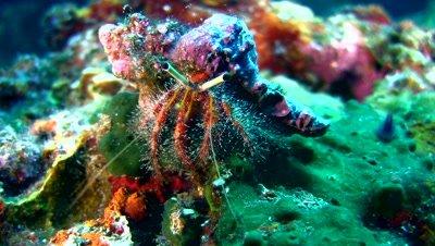 Hairy-red hermit crab (Dardanus lagopodes) crawling