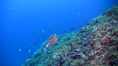 Male whitespotted boxfish (Ostracion meleagris) over coral reef