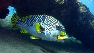 Oblique-banded sweetlips (Plectorhinchus lineatus) cleaned by cleaner wrasse (Labroides dimidiatus)
